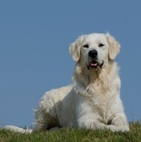 Pixabay-golden-retriever-672824_640.jpg