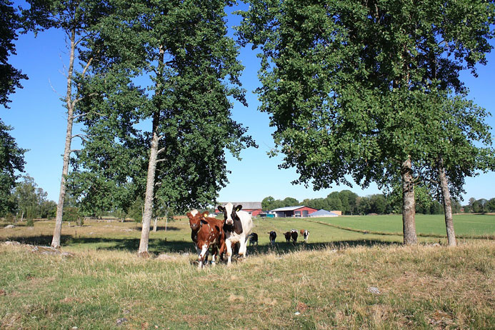 Cattle on pasture with the farm Götala in the background