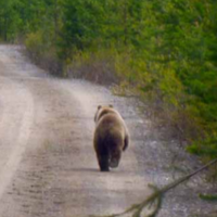 A bear walking on a road. Photo.
