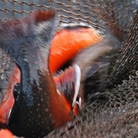 Red and gray fish in a fishing net. Photo.