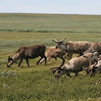 A herd of reindeer grazing in terrain with low-growing shrubs. Photo.