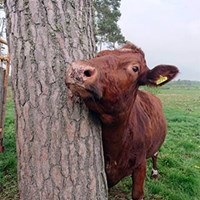 An SRB cow peeking out from behind a tree. Photo.