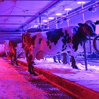 Cows in a tied-stall barn in pink and purple LED lights. Photo.