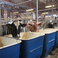 Three dairy cows at blue and white feeding trays. Photo.