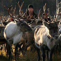 Two reindeer and one reindeer herder from the front. Photo.