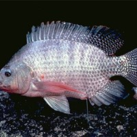 A Tilapia fish from the side. Photo.