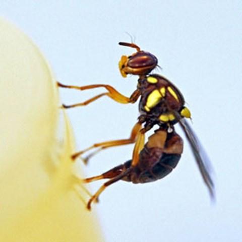 fruitfly.jpg