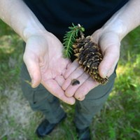 Two hands are holding a spruce cone. Photo.