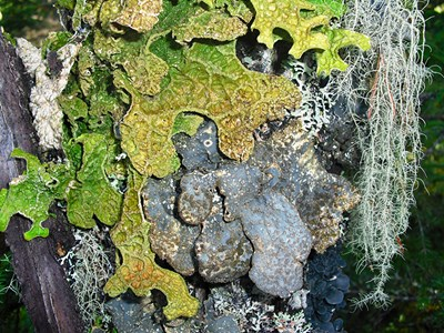 A green lichen on a tree trunk. Photo.