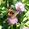 A butterfly sitting on a red clover flower. Photo.