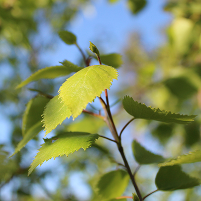 Birchleaf and blue sky. Photo.