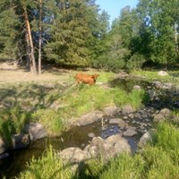 Cow at the shore of a stream and forest in the background. Photo.