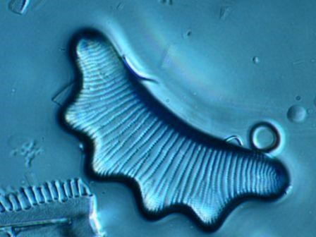 Microscope image of a diatom algae. Photo.
