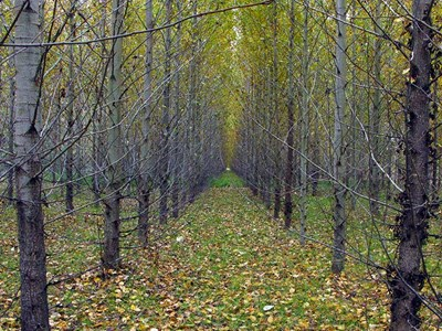 Tall deciduous trees in straight rows.