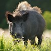 12265331-wild-boar-in-the-meadow_Mostphotos300px.jpg