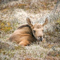 Photo of moose calf