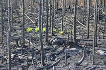 Foto på spirande växter i bränd skog