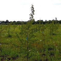 Photo of field trial with transgenic hybrid aspen