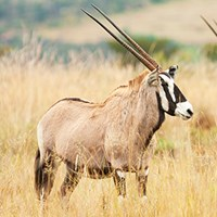 Photo of gemsbok