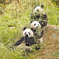 Photo of giant pandas (https://commons.wikimedia.org/wiki/File:Giant_Pandas_having_a_snack.jpg)