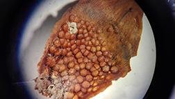 Foto på aecidier på undersidan av ett fjäll på en grankotte