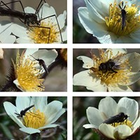 Pollinating insects on Dryas