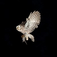 Photo of Tengmalm's owl