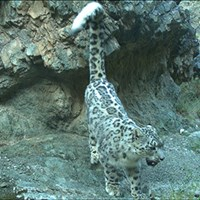 Camera-trapped snow leopard