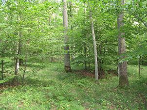 Foto på 80-årig ekplantering på åkermark där skogsfloran har etablerat sig.